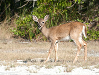 Endangered Key Deer Doe