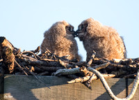 Owlet Kisses