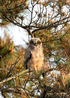 Newly Fledged Owlet