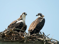 Two baby osprey