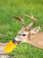 Endangered Key Deer Buck