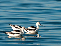 Two Avocets