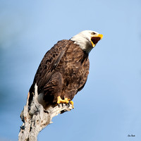 Tremelo   Bald Eagle