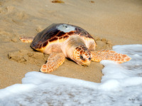 V for Vortex              Loggerhead Release
