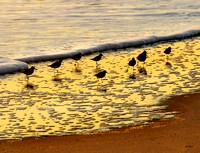Sanderling Silhouettes