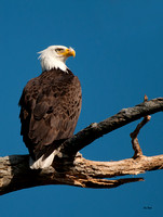 Bald Eagle Perch