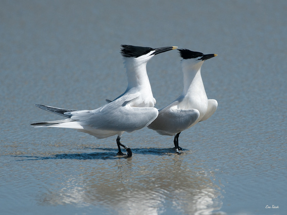 All About Us - Sandwich Terns